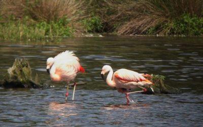 Flamingo's overwinteren weer in het Grevelingenmeer